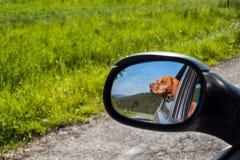 Widok pies w rearview lustrze samochód Psi przyglądający out samochodowy okno Węgierski pointer Vizsla zdjęcie stock