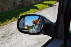 Widok pies w rearview lustrze samochód Psi przyglądający out samochodowy okno Węgierski pointer Vizsla fotografia royalty free