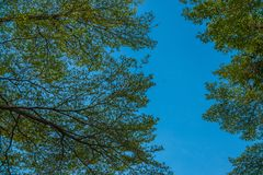 Widok pod drzewem z zieleni niebieskim niebem i liśćmi Fotografia Royalty Free