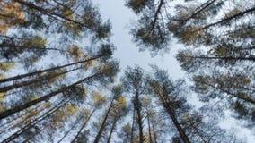 Widok pogodny wysoki conifer treetops obracanie na miejscu w lesie zdjęcie wideo