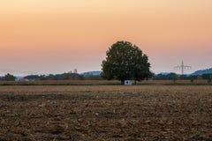 Widok pojedynczy drzewo w kukurydzanym polu zdjęcia royalty free