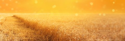 Widok pole żyto z beveled stripbeveled paskami podczas zbierać przy zmierzchem Lata rolnictwa wiejski tło panoramiczny fotografia royalty free