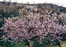 Widok pole Migdałowi drzewa obraz royalty free