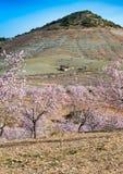 Widok pole Migdałowi drzewa Obraz Stock