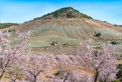Widok pole Migdałowi drzewa Obrazy Stock