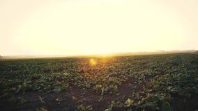 Widok pole z dorośnięcie zieleni liśćmi gwałt przy zmierzchem 4K zbiory