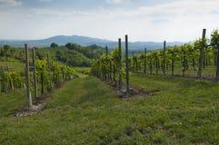Widok Prosecco winnicy od Valdobbiadene, Włochy podczas spri Obrazy Stock
