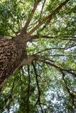 Widok przez korony dębowy drzewo zdjęcia stock