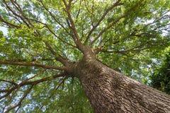 Widok przez korony dębowy drzewo zdjęcia royalty free