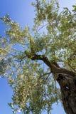 Widok przez korony drzewo oliwne obrazy royalty free