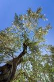 Widok przez korony drzewo oliwne obrazy stock