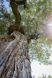 Widok przez korony sosna fotografia stock