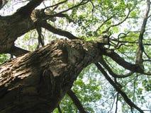 Widok Przyglądający przy Dębowym drzewem Up zdjęcie stock