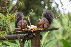 Widok różnobarwna wiewiórka Zdjęcia Stock