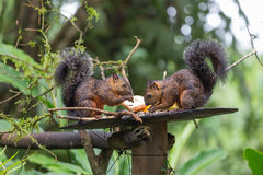 Widok różnobarwna wiewiórka Obrazy Royalty Free