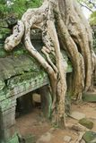 Widok ruiny Ta Prohm świątynia w Siem Przeprowadza żniwa, Kambodża Obrazy Stock