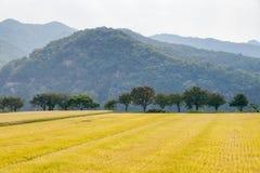 Widok ryżowej rośliny gospodarstwo rolne Zdjęcia Stock