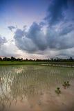 Widok ryżu pole Obrazy Stock