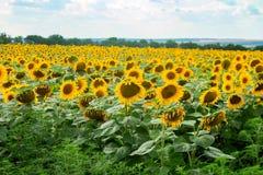 Widok słonecznikowy pole Obraz Royalty Free