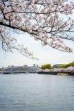 Widok Sakura drzewa rzeką i mostem od Sakuranomi Obraz Stock