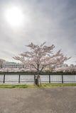 Widok Sakura drzewa rzeką od Sakuranomiya parka w Osak Zdjęcia Royalty Free