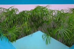 Widok soczyści zieleni drzewka palmowe za błękit menchii ścianą Obraz Stock