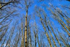 Widok spod spodu drzew w niebieskim niebie Zdjęcia Royalty Free