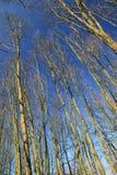Widok spod spodu drzew w niebieskim niebie Obraz Royalty Free
