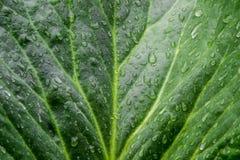 Widok spod wod kropel na Zielonych liściach Po deszczu Zdjęcie Royalty Free