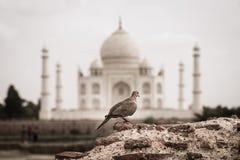 Widok Taj Mahal od Mehtab Bagh uprawia ogródek Fotografia Royalty Free