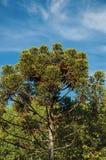 Widok treetops i błękitny pogodny niebo w centrum miasta campos robimy Jordão Obrazy Royalty Free