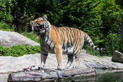 Widok tygrys w szwajcarskim zoo Zdjęcie Stock