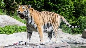 Widok tygrys w szwajcarskim zoo Obrazy Royalty Free