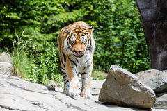 Widok tygrys w szwajcarskim zoo Zdjęcie Royalty Free