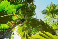 Widok upwards na Coco De Mer drzewkach palmowych spod spodu Vallee De Mai palmowy las, Praslin wyspa, Seychelles zdjęcia stock