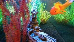 Widok w akwarium z Goldfish Fotografia Royalty Free
