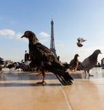 Widok wieża eifla od Trocadero Obraz Royalty Free