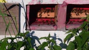 Widok wiejski ul Poruszające pszczoły przed ulem zbiory wideo
