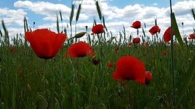 Widok wielka głowa maczek kwitnie na tle zielona trawa i niebieskie niebo pogodna lato pogoda zbiory