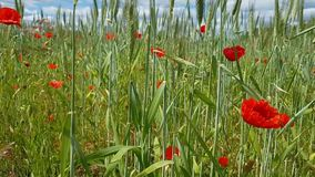 Widok wielki pole z różnorodność lat ziele - maczki kwitną, kiwający spikelets Natura na zewnątrz miasta na Pogodnym lecie zdjęcie wideo