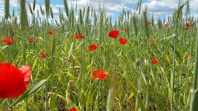 Widok wielki pole z różnorodność lat ziele - maczki kwitną, kiwający spikelets Natura na zewnątrz miasta na Pogodnym lecie zbiory wideo