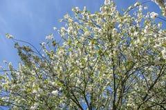 Widok wierzchołek kwiatonośny drzewo w wiośnie pełno biali okwitnięcia z jaskrawym niebieskim niebem jako tło, zdjęcie stock