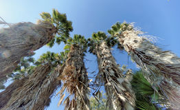 Widok wierzchołki drzewka palmowe w postaci błękitnego bezchmurnego nieba Obraz Royalty Free