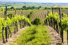 Widok winnica blisko Unterretzbach Fotografia Stock