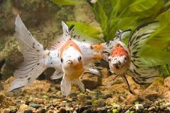 widok złotą rybkę Zdjęcia Stock