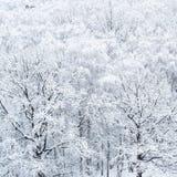 Widok z lotu ptaka śnieżyści dębowi drzewa w gaju zdjęcie stock