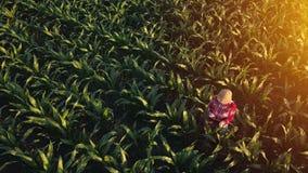 Widok z lotu ptaka żeński rolnik z pastylką w kukurydzanym polu zdjęcie royalty free