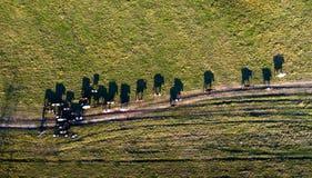 Widok z lotu ptaka grupa krowy na wiejskim paśniku w wieczór świetle z dramatycznym cienia spojrzeniem jak Salvador Dali obrazek obraz royalty free
