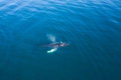 Widok z lotu ptaka Humpback wieloryb, Iceland obrazy royalty free