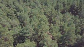 Widok z lotu ptaka kamera od zielonego lasu zwarci mieszani drzewni wierzchołki sosny i brzozy klamerka Widok z lotu ptaka lata Obraz Royalty Free